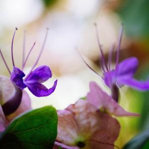 9月の花 その3 チャイニーズハット