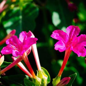 9月の花 その4 オシロイバナ