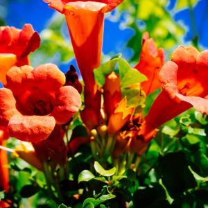 9月の花 その5 アメリカノウゼンカズラ