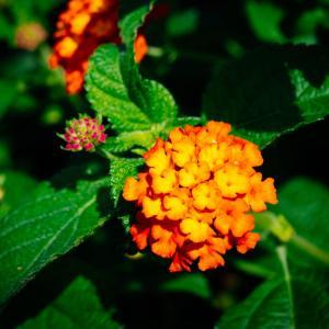 9月の花 その7 ランタナ