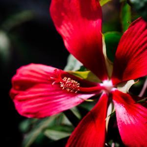 9月の花 その8 モミジアオイ