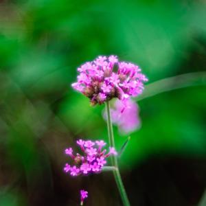 9月の花 その9 ヤナギハナガサ