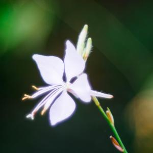 9月の花 その10 ハクチョウソウ