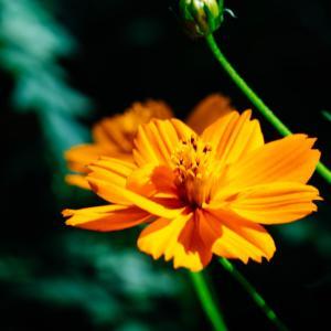 9月の花 その12 キバナコスモス