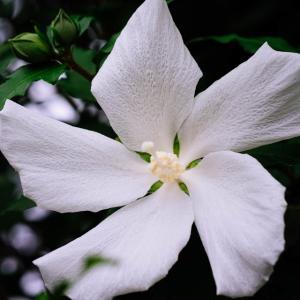9月の花 その13 ムクゲ