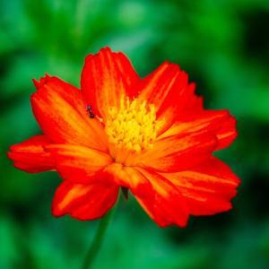 9月の花 その14 キバナコスモス