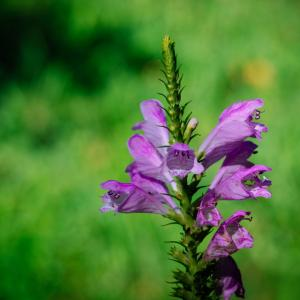 9月の花 その16 ハナトラノオ