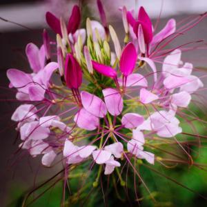 9月の花 その17 クレオメ