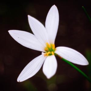 9月の花 その18 タマスダレ