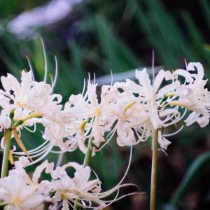 9月の花 その25 ヒガンバナ