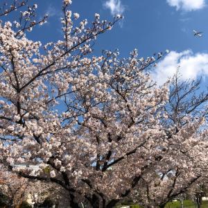 満開の桜の下でさくら(独唱)を歌ってみて
