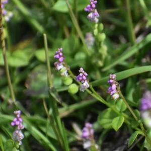 ヒナノウスツボ、、、小さい花