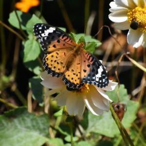 ダリアの花壇にツマグロヒョウモン、ヒメアカタテハ、クジャクチョウ