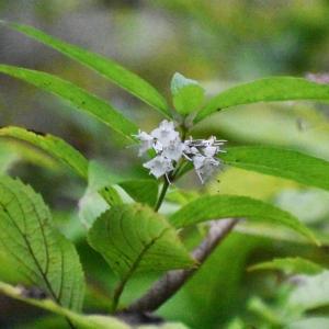 シモバシラ、、、氷ではなく花です