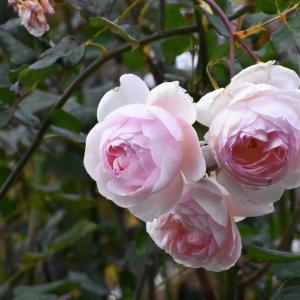 冬バラ、剪定される前に、、、