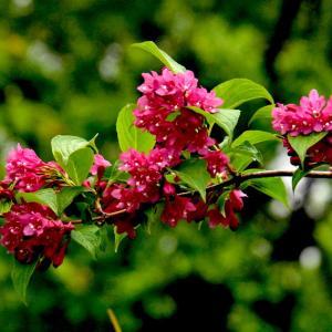 木の花いろいろ、キバナウツギ、ベニバナニシキウツギ、クマイチゴ、、、