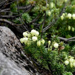オノエラン、アオノツガザクラ、イワハゼ、、、蔵王の花