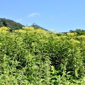 ハンゴンソウ、オミナエシ、イブキボウフウ、、、などスキー場の花です