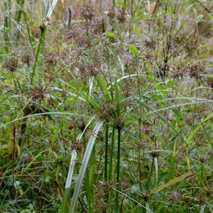 ウシクグ(カヤツリグサ科)、メカルガヤ、、、秋の草むら