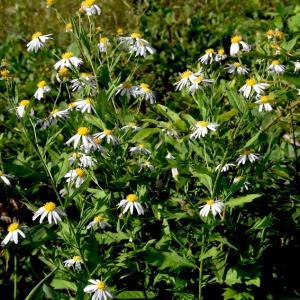 カントウヨメナ、ユウガギク、クルマバナ、、、伐採地の花たち