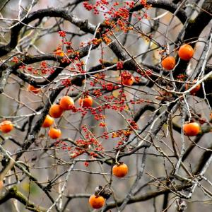 オレンジ、オレンジ、、、ツルウメモドキと柿