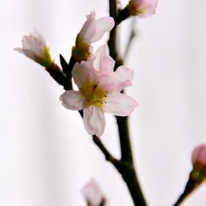 啓翁桜(ケイオウザクラ)の春、外は氷
