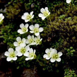 イワウメ、、、崖に咲く高嶺の花