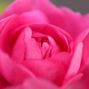 ラファエルの名前のバラが咲き始めました
