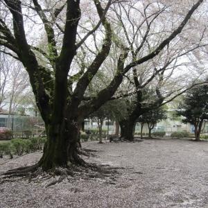 4/4(土)5(日)の予約状況&散り桜