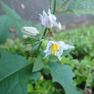 ワルナスビの花が咲く