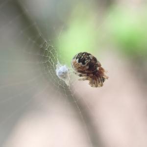小さなクモ水を飲む