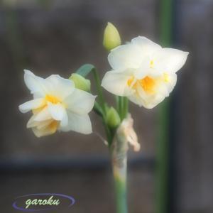 蝋梅の花物語