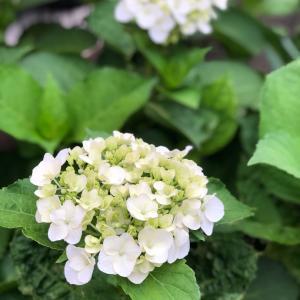 花より何ちゃら。水戸の夜のあじさい祭りへ。