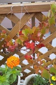ルーフにて!ぶどう収穫ゼロ😢 今は紅葉が…(^o^) 「優舞美」の布製・帯締め入れ