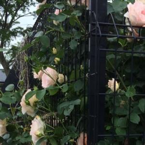 薔薇 ロココ