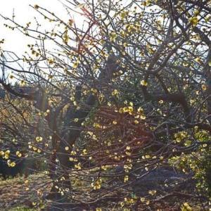 臘梅や雪うち透す枝の丈
