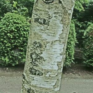 ミィドソンマルの樹