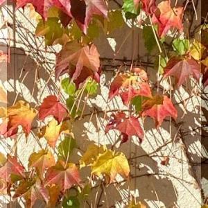 蔦の紅葉。