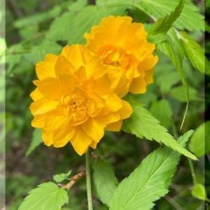 山吹の花・・・・。