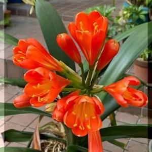 君子蘭の花・・・・。
