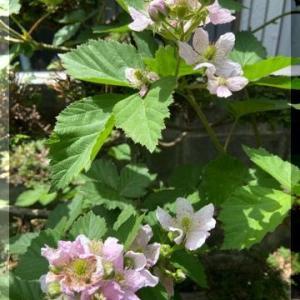 ブラックベリーの花。