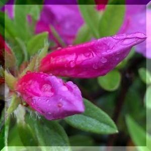 雨と ツツジの花。
