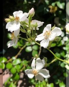 五月の野薔薇・・・・。