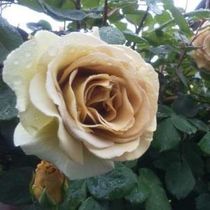 薔薇が奏でる4楽章♪