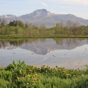 田植えの頃2)キガラシとタンポポの田園風景