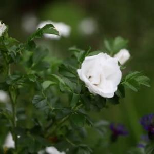 初夏の花達10)