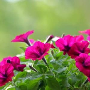 ペチュニアが元気よく咲いています!