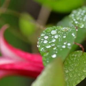 夏の花達11)雨上がり