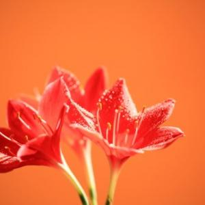 バロータ・スペシオサ(3つの花)