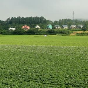 まっすぐ伸びたジャガイモ畑